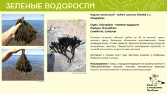 chlorophyta_01.jpg