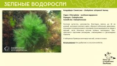 chlorophyta_02.jpg