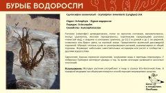 ochrophyta_002.jpg
