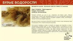 ochrophyta_004.jpg
