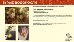 ochrophyta_011.jpg