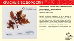 rhodophyta_001.jpg