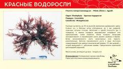 rhodophyta_002.jpg