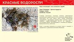 rhodophyta_004.jpg