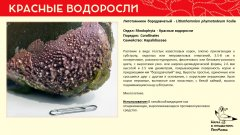rhodophyta_005.jpg