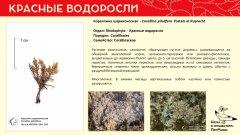 rhodophyta_009.jpg
