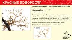 rhodophyta_010.jpg