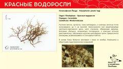 rhodophyta_014.jpg