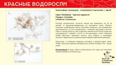 rhodophyta_015.jpg