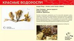 rhodophyta_016.jpg