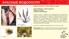 rhodophyta_017.jpg