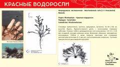 rhodophyta_018.jpg